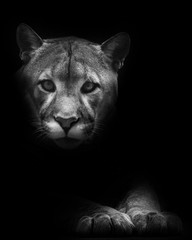 Muzzle and paws isolated in darkness. Cougar beautifully lies on a dark background, a powerful predatory big cat