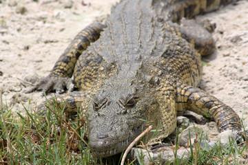 Acrylic Prints Crocodile Krokodil-Botswana
