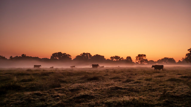 Beef cattle in an autumn pasture at sunrise with fog