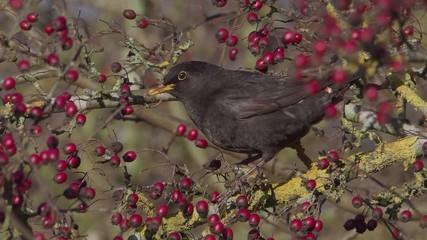 Fotoväggar - Blackbird, Turdus merula, single male eating hawthorn berries, Warwickshire December 2014