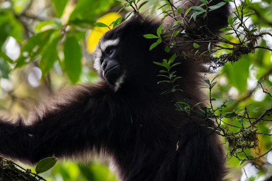 Skywalker hoolock gibbon monkey in a tree