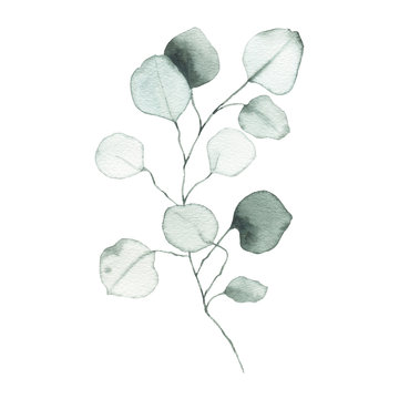 Watercolor eucalyptus dusty green leaf plant herb spring flora