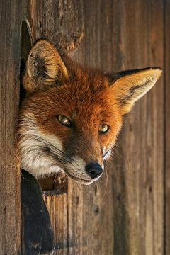 Der Fuchs hier ganz allein, denkt wohl wer mag der Kerl da draußen sein. Für mich ein Geschenk da er seine Blicke auf uns lenkt.