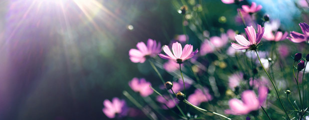 Wall Mural - Wild purple cosmos flowers in meadow in rays of sunlight on nature macro on dark green background with copy space, soft focus, beautiful bokeh.
