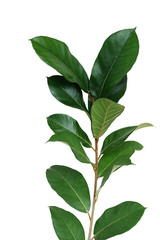 Dark green leaves wild fig tree young plant (Ficus species) the tropical rainforest tree isolated on white background, clipping path included.