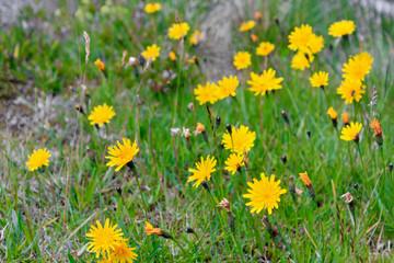 Yellow dandelions on the flower meadow in summer in Buskerud, Hemsedal, Norway.