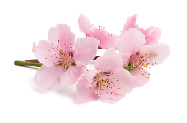 Cherry blossom, sakura flowers isolated