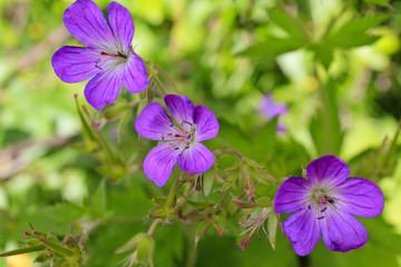 Beautiful meadow flower, purple geranium. Summer landscape in Hemsedal, Buskerud, Norway.