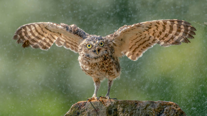 Burrowing owl (Athene cunicularia) cooling in the rain. Noord Brabant in the Netherlands.