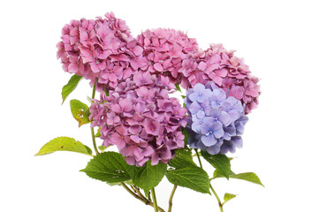 Pink and blue hydrangea flowers