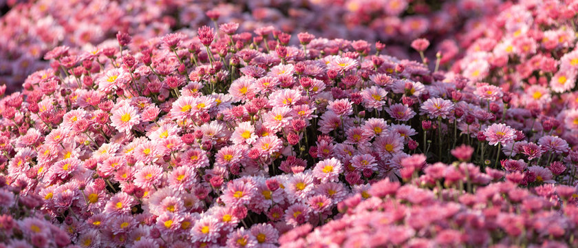 Wavy surface of small pink, light purple flowers, spray chrysanthemums. Beautiful floral background, selective focus