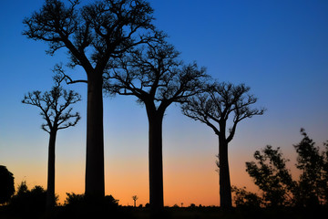 In de dag Baobab Silhouette of baobab trees in south Madagascar on an early morning