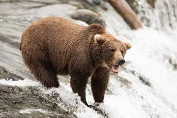 Wild Alaskan Grizzy Bear fishing for salmon on Brooks Falls Waterfall