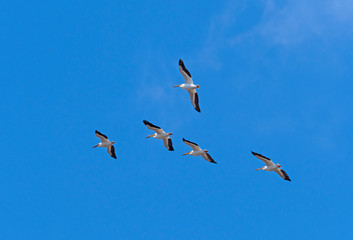 A Group of White Pelican Flying Overhead