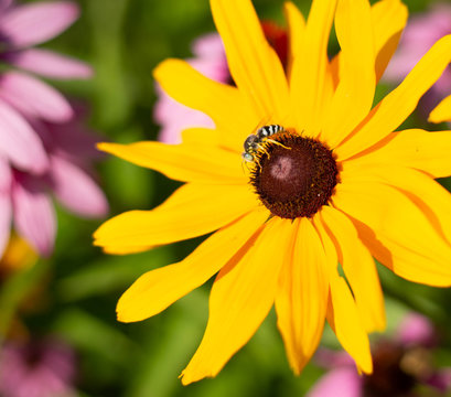 Close up of a Black Eyed Susan (Rudbeckia hirta) flower with a bee