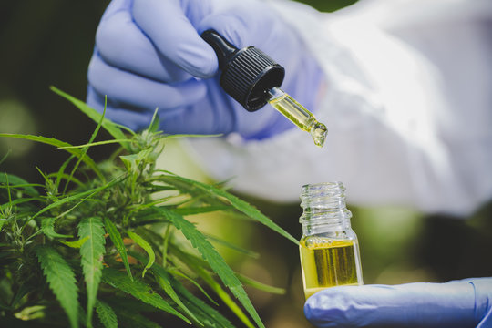 Hemp oil is in the hands of scientists in a greenhouse, Hemp oil research, Concept of herbal alternative medicine, cbd oil, pharmaceptical industry.