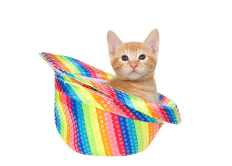 Adorable orange ginger tabby kitten sitting in a rainbow colored gay pride fedora hat isolated on white, looking directly at viewer. Fun animal antics