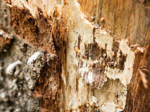 background of nest termite,background damaged white wooden eaten by termite or white ant