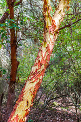 peeling bark of madrona tree or madrone tree in forest