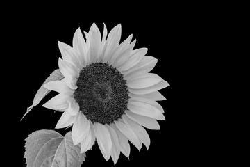monochrome sunflower blossom macro on black background
