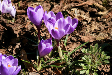 Crocuses, the first spring flowers in the garden. Crocuses are the source of the first pollen, a protein food for bees