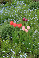 Tulips and forget-me-nots, spring flowers in the garden. Forget-me-nots are the source of the first pollen, a protein food for bees
