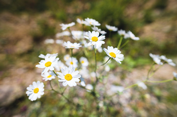 Close-up of a bush of wild chamomile on a contrasting background on a sunny day. The concept of medicinal plants