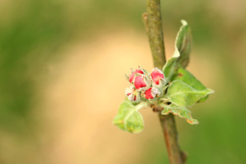 Blooming young apple tree in the new orchard. Flower buds on a young tree.