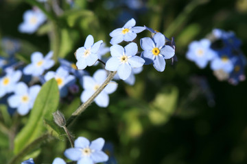 A field of forget-me-nots in the spring home garden.