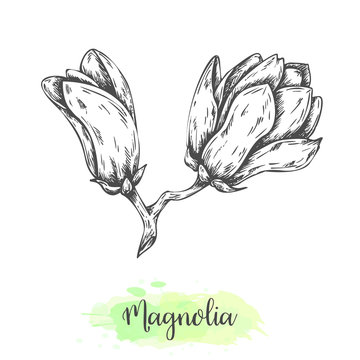 Hand drawn magnolia flower sketch. Floral background with blooming oriental tree isolated on white. Vector illustration in vintage style. Tropical flower Outline botanical design