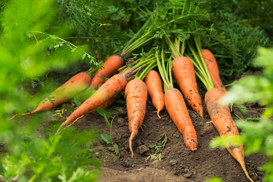 Fresh harvest of carrots on the field in sunny weather