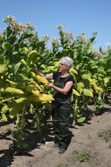 Farmer in tobacco field
