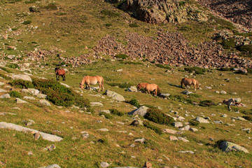 Group of wild brown horses grazing in the high mountains. Animals concept