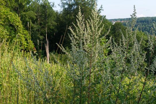 flowering common mugwort plants in hilly landscape