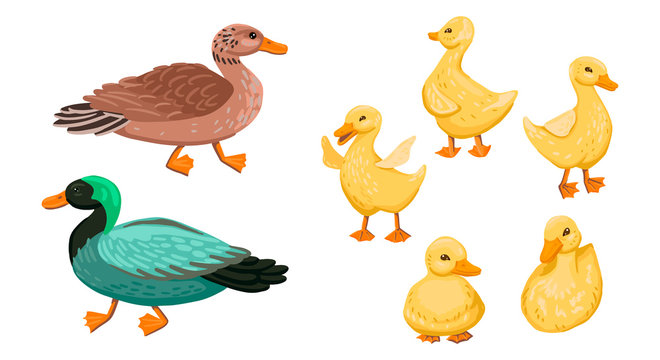 Duck family. Set small ducklings with parents, drake and duck. Vector cartoon illustration