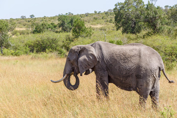 African Elephant eating grass on the savannah in Africa