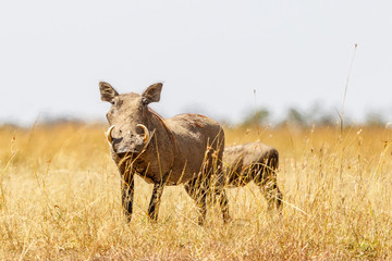 Warthog with big tusk in the high grass on the savannah