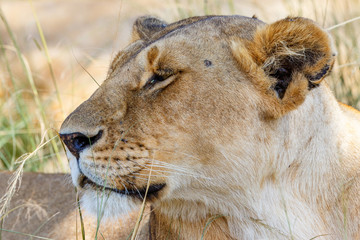 Portrait of a lioness in the grass