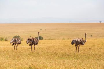 Ostriches on the savanna landscape in africa