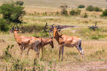 Group of Hartebeest on the grass savanna in Africa