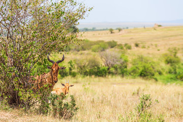 African Hartebeest standing in the shade at a bush on the savannah