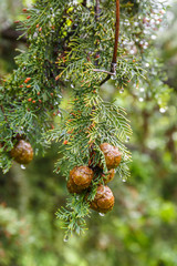 Cypress cone hanging on a branch with raindrops