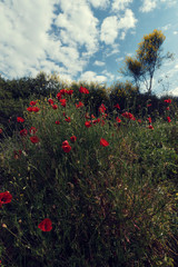 Beautiful red poppy flowers on a cloudy summer day in Sithonia Greece Selective focus