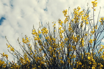 Beautiful yellow bush with flowers known as Spanish broom on a cloudy summer day in Sithonia Greece Selective focus