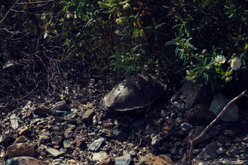 One tortoise under a bush in Greece Selective focus