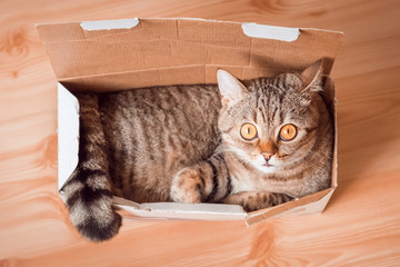 The full cat is conveniently placed in a small box. Cat breed Scottish Straight, color tabby. The cat has huge orange eyes. Wall mural