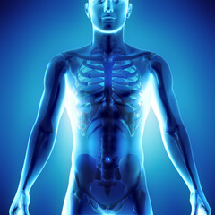 3d medical illustration of human body showing skeletal system in x-ray