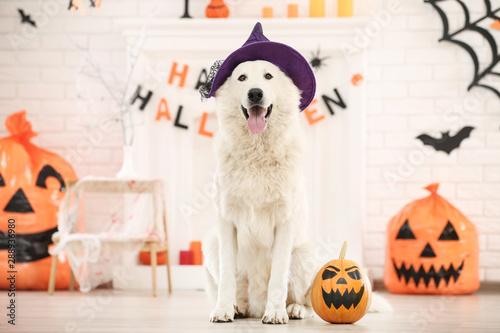 Swiss shepherd dog with halloween pumpkin sitting at home