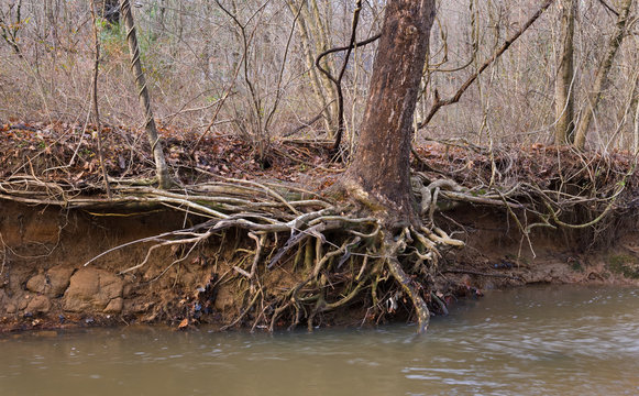 Roots of sycamore tree (Platanus occidentalis) exposed by floodwaters of small urban stream. Heavy storm runoff due to impervious surfaces throughout the watershed severely erodes stream banks.
