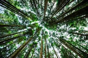 Tuinposter Canada Giant green trees seen from below and seen on the sky, in the forest of ancient cedars on the road to Cathedral Grove on the island of Vancouver in Canada, close up, nature, photography effect